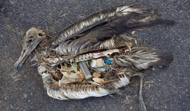 Oiseau-mort-le-ventre-plein-de-plastiques